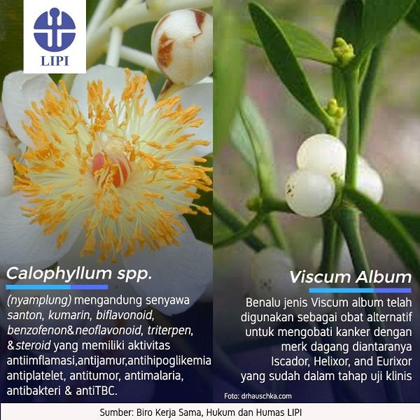 Bahan Alam untuk Obat Herbal Antikanker Nyamplung dan Benalu